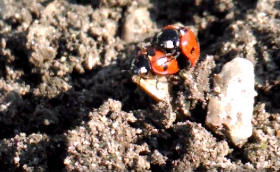 Allotment ladybirds